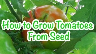 Container Gardening:  How to Grow Tomatoes from Seed