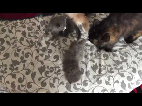 1 Month Kittens | Mixed Breed British Short Hair & Domestic Long Hair