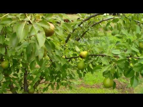 Kieffer Pear Tree