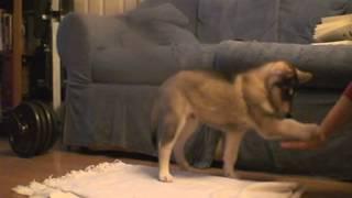 Tikkon (tikki) Northern Inuit Puppy Training As 6 Weeks Old.