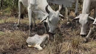 Naissance d'un veau à la fazenda de César au Brésil