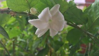 Ways to use Jasmine Flower