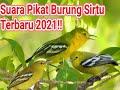 Suara Pikat Burung Sirtu Cito Terbaru  Anti Zonk Menit Ke  Langsung Dapat  Mp3 - Mp4 Download