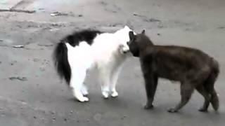 Кошки ругаются!!!! - ох уж эти кошки!