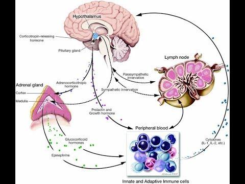 кортизол, гормон который полезен, но вовремя и вызывает стресс, если выработали не вовремя