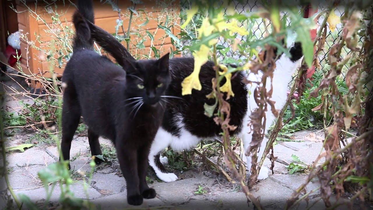 černé africké kočička fotky