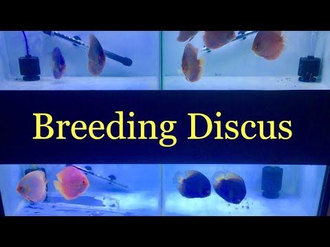 Discus Breeding - Artificially Raising Fry