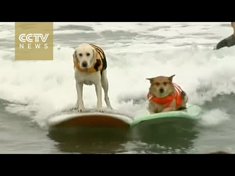 Dogs ride the waves at a California dog surfing competition