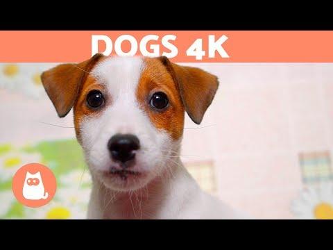 DOGS 4K|Cute DOGS & PUPPIES in 4K Ultra HD 🐶