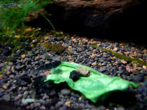 Blue Tiger Shrimps - Caridina cantonensis sp