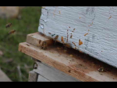 Beekeeping with Cody 2016: Bees are Back!