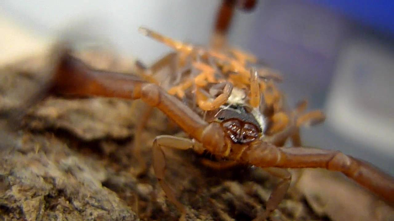 Mother Scorpion with Babies