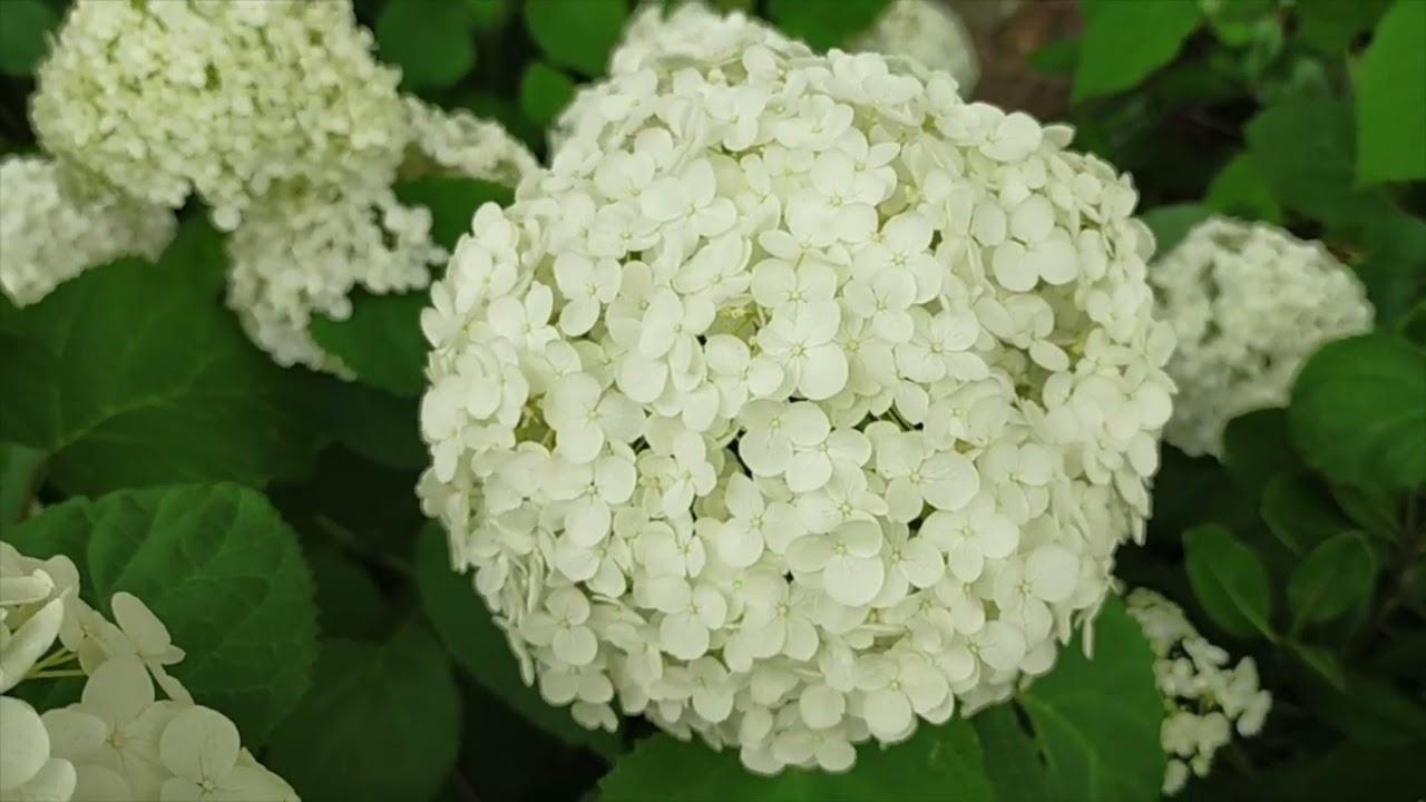 京都の初夏 御池通やで咲き誇るアジサイ 京都は紫陽花も美しい^^