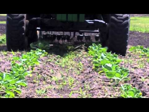 Weeding Organic Brussels Sprouts on the Farm Video