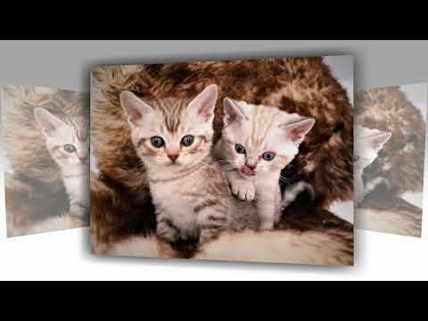 3 cute cats of the breed American Wirehair we are cats of the extra class