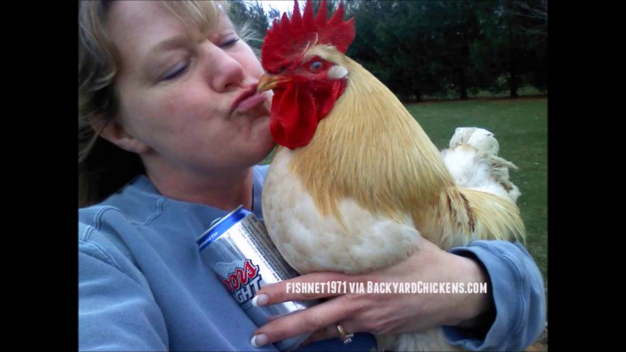 Warga AS Diperingatkan Jangan Suka Menciumi Ayam