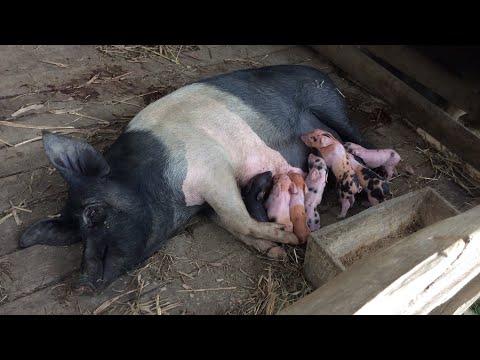 Mostrando os porcos dos meus primos + porca criando