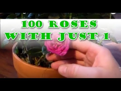 Air Layer Cutting Method, Get 100 Roses With Just One (Fool Proof)