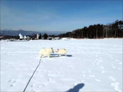 サモエド クローカ 「雪遊びワホー♪」 (samoyed kloka)