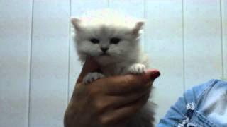 Котенок персидская шиншилла 1