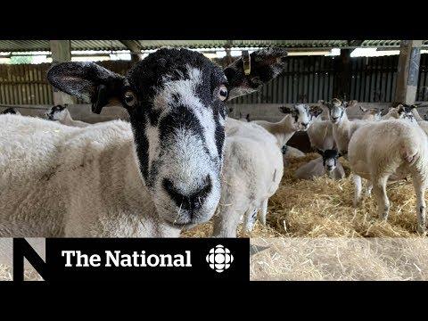 British lamb farmers fear impact of no-deal Brexit