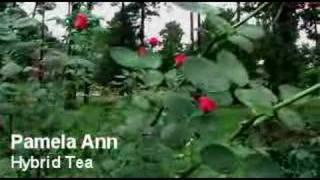 Hybrid Tea Rose Gardening Display - Flower Guide