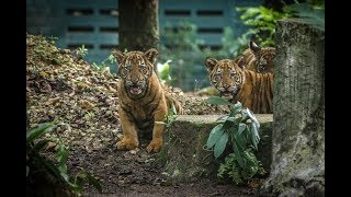 Zoo Negara receives RM360,000 from KL City Hall for Malayan tiger conservation effort