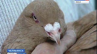 Владельцы ценных пород голубей собрались на выставке в Челябинске