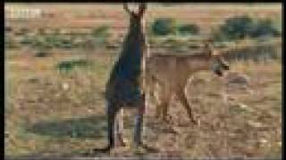 Wallaroo vs dingo - BBC wildlife