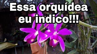 Dicas de Orquídeas que Florescem Muito
