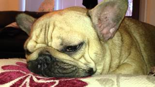Frenchie snore