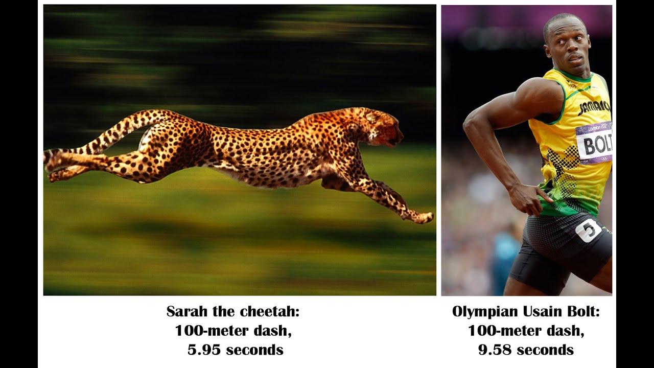 Cheetah Vs Usain Bolt | www.pixshark.com - Images ...