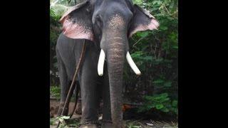 Thrikkadavoor Sivaraju  star elephant /thrissur pooram fame//kerala elephant