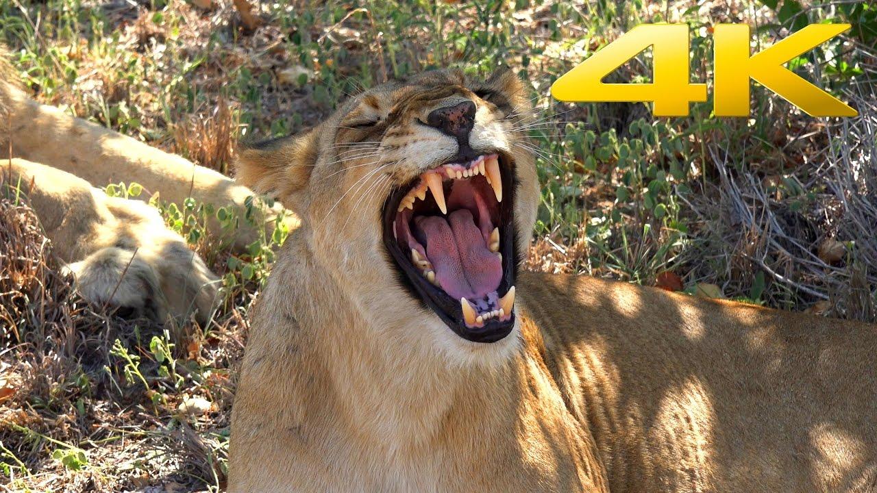 4K   Greater Kruger National Park Safari in South Africa ...