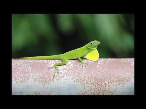 The Green Anole Lizard