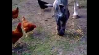 Arlkan, le grain & les poules