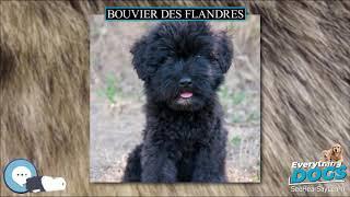Bouvier des Flandres  Everything Dog Breeds
