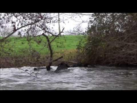 Erdre en kayak: un sanglier qui nage pour échapper aux chasseurs ;-) Boar swimming Erdre river