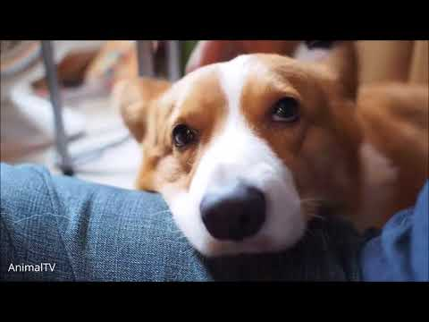 Funny Corgi Videos | Best Compilation 2017