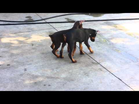 2 month old dobermans playing