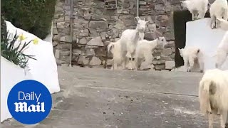 Gang of goats invade quiet Welsh village - Daily Mail