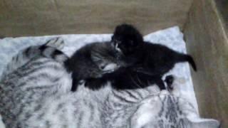 Британские котята. Лойя родила котят.