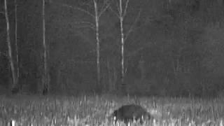 Polowanie na dziki, wildschweinjagd,wild boar hunting