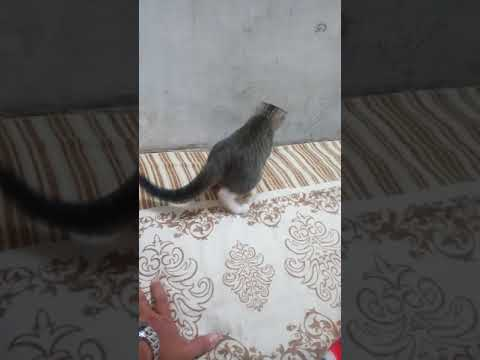 Kucing hutan vs kucing kampung