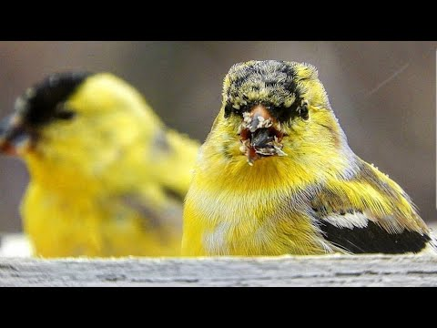 American Goldfinch Of North America