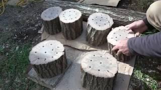 Kırmızı reishi mantarı miselinin kütüğe aşılanması G lucidum Kütükte mantar yetiştiriciliği 2