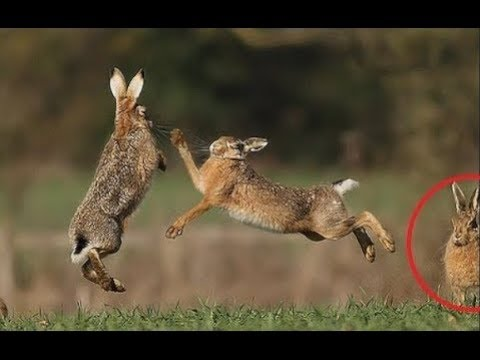 Hares Playing Together