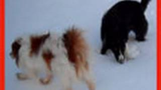 Pap-Cav Vs Border Collies in the SNOW