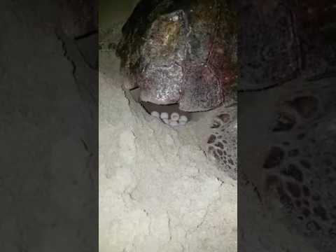 tartaruga marina tor san lorenzo