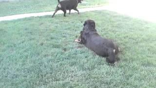 Rottweiler Male Vs Female